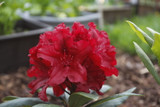 Rhododendron 'Lord Roberts' 20-30cm Tall In 1.5L Pot, Stunning Flowers