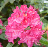 Rhododendron 'Morgenrot' 20-30cm Tall In 1.5L Pot, Stunning Flowers