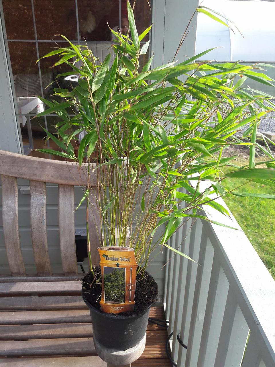 Fargesia Rufa/ Chinese Fountain Bamboo, 1-2ft tall in a 2L Pot ...