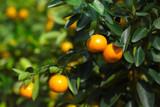Citrofortunella 'Calamondin Orange' Tree, 20-25cm Tall , 1.5L Pot,Ready to Fruit