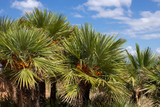 Chamaerops Humilis / Dwarf Fan Palm 30-40cm Tall in 1.5L Pot, Stunning Mass of Fan-Shaped Leaves
