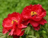 Red Paeonia Suffruticosa / Peony Tree in 1L Pot, Stunning Red Double Flowers