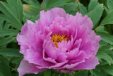 Pink Paeonia Suffruticosa, Peony Tree in 1L Pot, Stunning Flowers