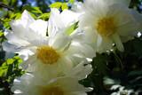 White Paeonia Suffruticosa, Peony Tree in 1L Pot, Stunning Flowers
