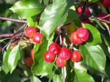 Crab Apple / Malus 'Rudolph' Tree 40-60cm Tall in 3L Pot, Make Your Own Jelly !