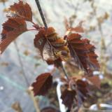 Betula Pendula 'Royal Frost', Birch Tree 60-80cm in 3L Pots, Stunning Purple Foliage