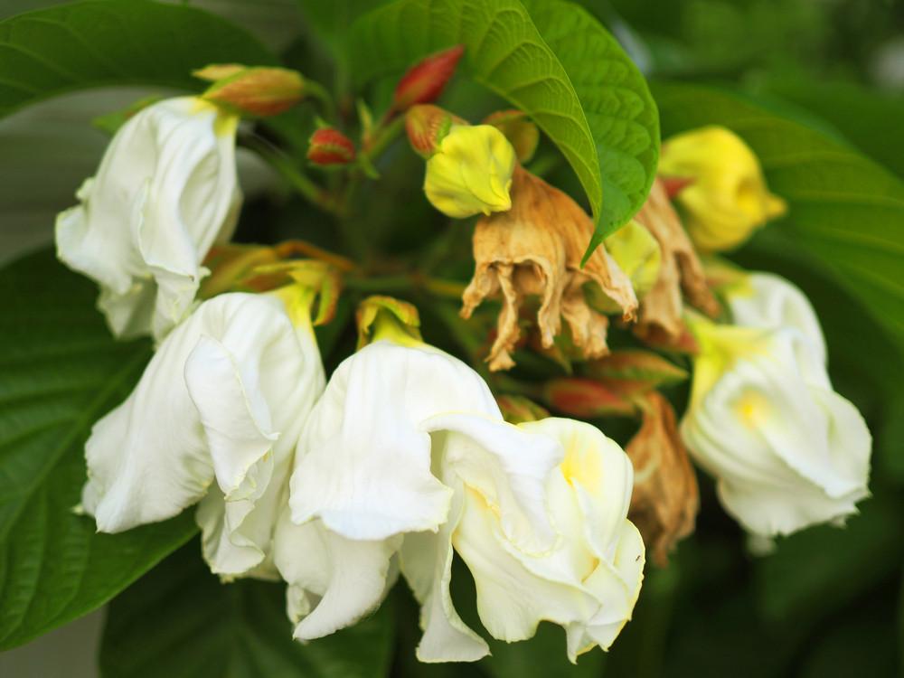 Carolina silverbell halesia carolina shrub 4 5ft tall in 65l pot stunning bell shaped flowers image 1 mightylinksfo