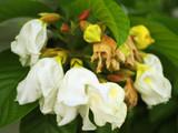 Carolina Silverbell  / Halesia Carolina Shrub 4-5ft Tall in 6.5L Pot, Stunning Bell-shaped Flowers