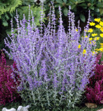 3 Perovskia 'Blue Spire' / Russian Sage 30-40cm Tall In 2L Pots