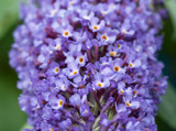 1 Buddleia davidii 'Nanho Blue' 1-2ft tall in 2L pot Buddleja Butterfly Bush