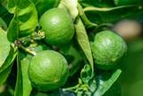 Citrus aurantifolia Lime Verde / Key Lime Tree in 2L Pot, Edible Limes