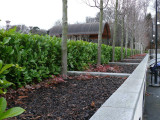 5 Cherry Laurel 2ft Prunus Rotundifolia,Bushy Evergreen Hedging 3yr old plants