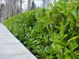 50 Cherry Laurel 2-3ft Multi-Stemmed Prunus Rotundifolia, In 3L Pots, Fast Growing Evergreen Hedging