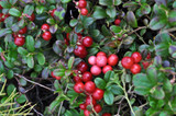 3 Cranberry Early Black / Vaccinium macrocarpon, Dark Juicy Fruit High in Vitamin C