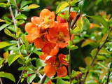 Chaenomeles × superba 'Orange Trail' / Japanese Quince, 20-30cm Tall In 2L Pot