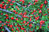 5 Cotoneaster Horizontalis / Wall Spray 1-2ft Tall In 1.5L Pots, Red Berries