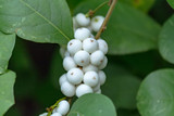 Symphoricarpos × d 'White Edge' 30-40cm Tall in 2L Pot, White Snowberry