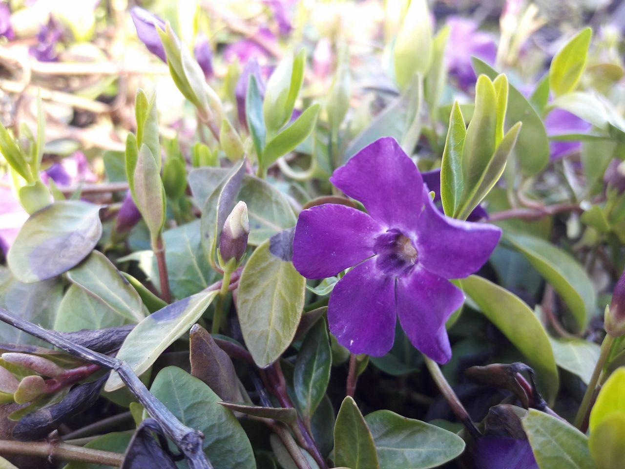 1 Vinca Minor Atropurpurea Small Purple Periwinkle In 10cm Pot