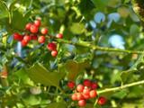 80 Common Holly Hedging Evergreen Plants, Ilex aquifolium 25-35cm in P9 Pots