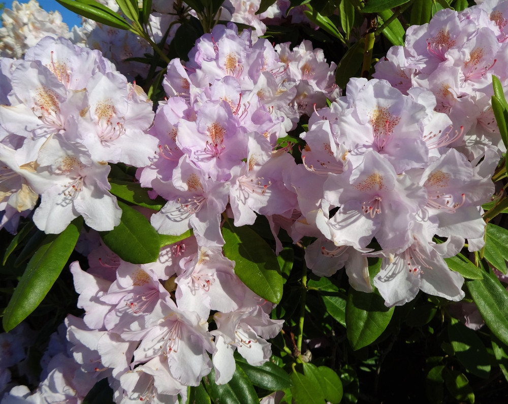 Rhododendron cunninghams blush in 5l pot stunning light pink stunning light pink flowers image 1 mightylinksfo