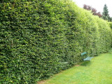 1 Green Beech 5-6ft  in a 5L Pot, Instant Hedging Trees,Strong 4 Year Old Feathered Plants