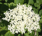 Elder Flower Tree Plant 2-3ft Tall in 2L Pot, Make Elderberry Wine & Elderflower Lemonade