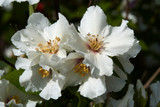 3 Philadelphus 'Belle Etoile' Plant / Mock orange 'Belle Etoile', 1-2ft Tall in 2L Pots