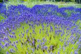 10 Lavender/Lavandula angustifolia 'Munstead', Stunning Flowering Plants in 9cm Pots