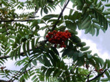 Mountain Ash (Rowan) Plant / Sorbus Aucuparia 2-3ft Tall Tree in 1L Pot, Hedge