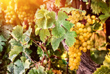 Vitis Muscat of Alexandria Grape in 2L Pot, Very Tasty, Favoutie Wine of Cleopatra!