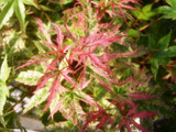 Japanese Maple 'Phoenix' Tree, Acer Palmatum 'Phoenix' 2-3ft Tall In 2L Pot