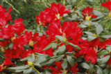 3 Rhododendron 'Red Jack' In 9cm Pots, Stunning Ruby-Red Flowers