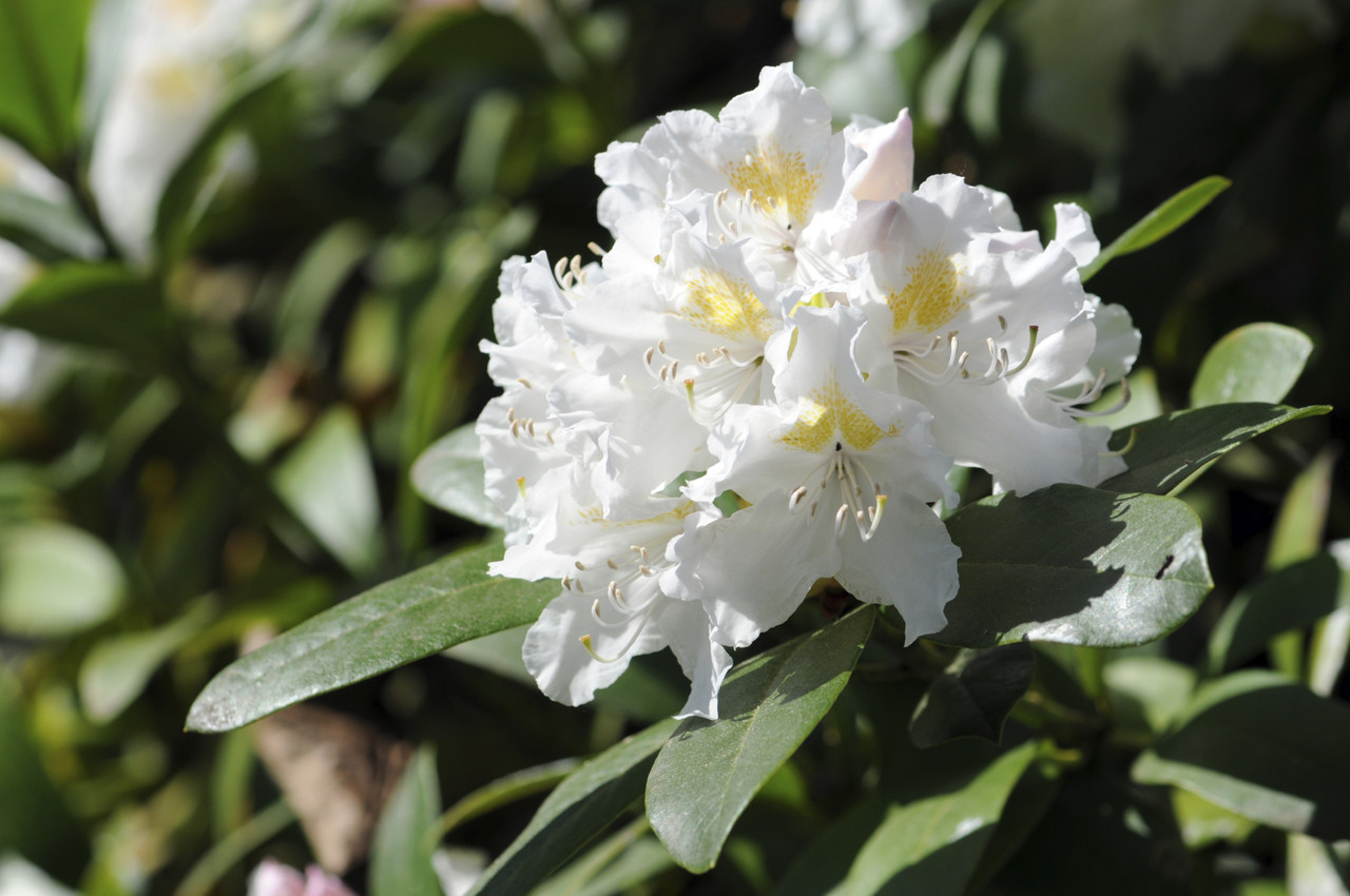 3 Rhododendron Cunninghams White In 9cm Pots Stunning White