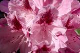 3 Rhododendron 'Cosmopolitan' Hybrid In 9cm Pots, Stunning Rich Pink Flowers