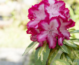 3 Rhododendron 'President Roosevelt' Plants In 9cm Pots, Stunning Red/White Flowers