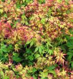 Japanese Maple 'Katsura' Tree, Acer Palmatum 'Katsura' 1-2ft Tall In 2L Pot