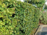 20 Hornbeam 2-3ft Hedging Plants, In 1L Pots Carpinus Betulus Trees.Winter Cover