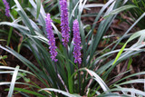 Liriope Muscari Big Blue / Lilyturf in 2L Pot, Stunning Violet-Purple Flowers