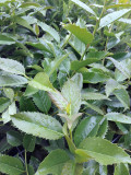 Ilex × koehneana 'Chestnut Leaf' Holly, 1-2ft Tall in 2L Pot, Evergreen Leaves