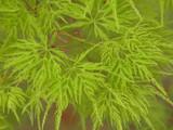 Japanese Maple 'Emerald Lace' Tree, Acer Palmatum 'Emerald Lace' In 2L Pot