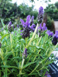 1 French Lavender In 2L Pot, Lavandula Stoechas Purpleberry Ruffles