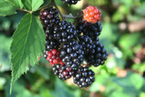 'Thornless' Blackberry Black Satin / Rubus Fruticosus / Thornfree Sweet & Juicy