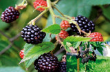 3 Thornless Blackberry 'Evergreen' / Rubus Fruticosus in 1L Pots, Big Juicy Berries, No Thorns