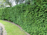 3 Western Red Cedar /Thuja 'Gelderland' Trees 2-3ft tall in 2L Pots, Fast Growing Evergreen Hedging