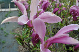 Magnolia 'Susan' in 5L pot 4-5ft tall,Purple Tulip-Like Flowers in the 1st Year