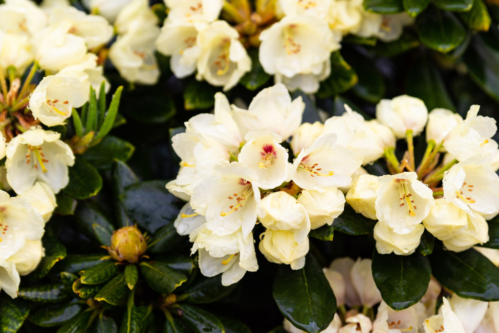 Rhododendron wren plant in 9cm pot magnificent pale yellowflowers rhododendron wren plant in 9cm pot magnificent pale yellowflowers mightylinksfo