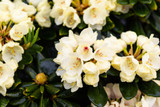 Rhododendron Wren Plant in 9cm Pot, Magnificent Pale YellowFlowers