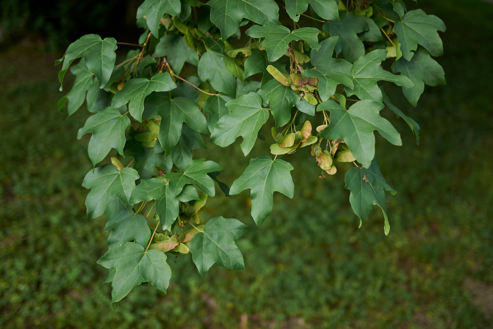 5 Field Maple Hedging Native Trees Acer Campestre 3 4ft Plants