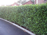 10 Griselinia Fast Growing Evergreen Hedging Plants, New Zealand Laurel 3-4ft Tall in 2L Pots