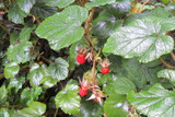 Rubus Tricolor / Chinese Bramble Plant, 20-30cm Tall in 9cm Pot, Edible Fruit